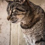 #242 Vaguely wild cat