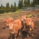 #662 Rencontre bovine