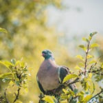 #1341 Pigeon obèse