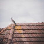 #1366 Pigeon obèse II