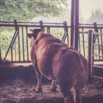 #1391 Vache pensive