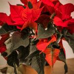 #1828 Plante rouge avec un nom compliqué