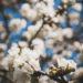 #1935 Cerisiers