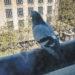 #2092 Pigeon naze