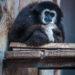 #2237 Gibbon pensif