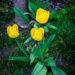 #2306 Tulipes