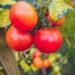 #2843 Dernières tomates